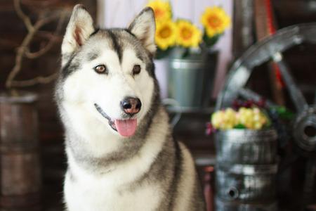countrified: husky dog