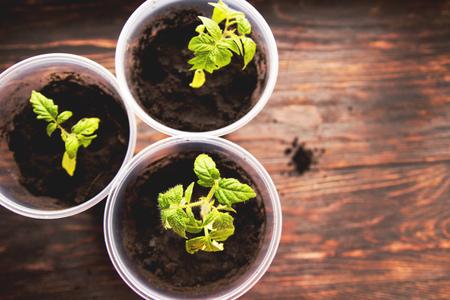seedlings: Tomato seedlings in pots Stock Photo