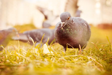 pigeon eats grass closed.
