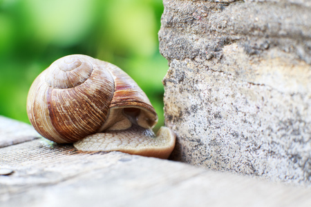 the snail crawls on a wooden background in the garden. the snail hid in a shell Stock Photo