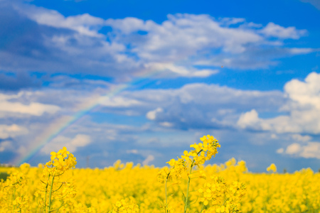 rapeseed field with a rainbow in the sky