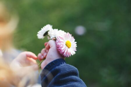 little girl with  chamomile flowers in her hand.  girls hand with  chamomile flowers  close