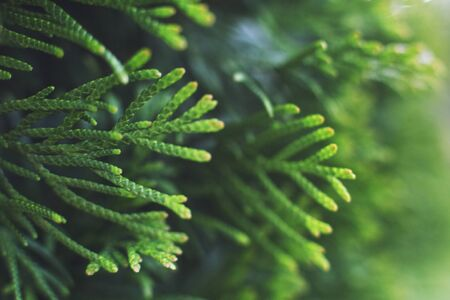 a thuja close up. thuja branch background