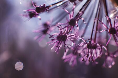 wild onions closeup.  purple flower background. wild leek background. 免版税图像