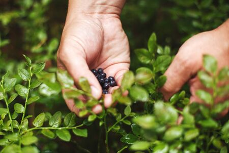 man picks blueberries in the forest. blueberry bushes in the forest Zdjęcie Seryjne