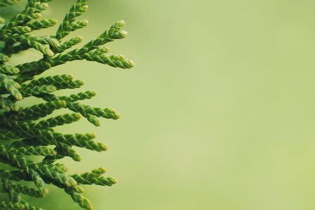 a thuja close up. thuja branch background