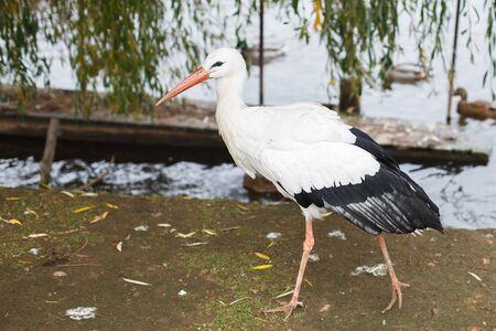 Stork near the lake. portrait of a stork Stock Photo