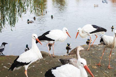 Storks near the lake. portrait of a stork