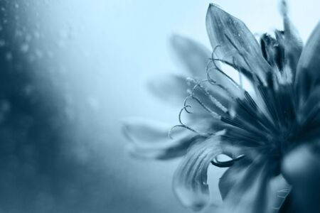blue flower close-up. cornflower. empty space for a text. classic blue trend color