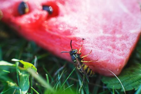 a wasp on a watermelon close up on a grass background. A wasp macro.