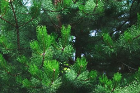 Closeup of background green needles tree thuja 版權商用圖片