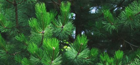 Closeup of background green needles tree thuja. banner