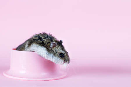 One Djungarian dwarf hamster is eating and sitting on a plastic bowl on the pink background. hamster portrait close
