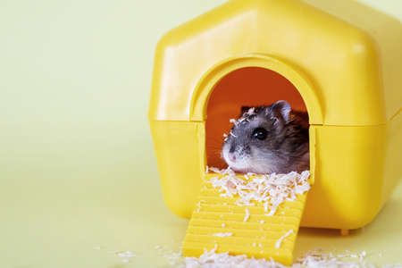 Djungarian dwarf hamster sitting inside its plastic house on a yellow background Stockfoto