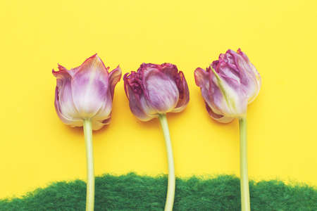 Flowers tulips on the decorative green grass on a yellow background. Spring or summer concept