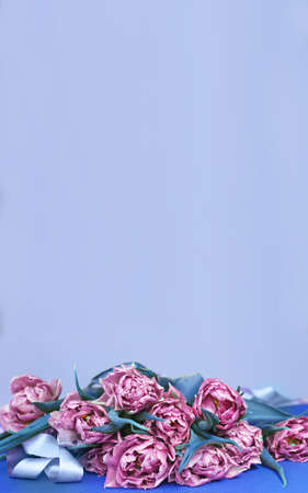 purple flowers tulips on a blue background with copy space 写真素材