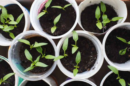 pepper seedlings growing on windowsill of the house