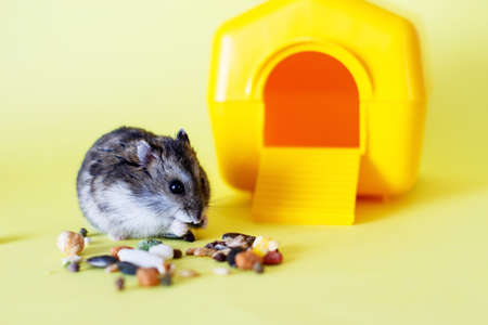Djungarian dwarf hamster eats feed near his house on yellow background 写真素材
