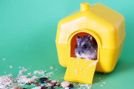 Djungarian dwarf hamster sitting inside its plastic house on green background