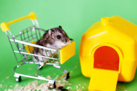 Djungarian hamster sits in childrens empty shopping cart on green background near its house. Funny pet is having fun