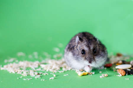 A cute Djungarian dwarf hamster eats dry grain feed. isolated on green background