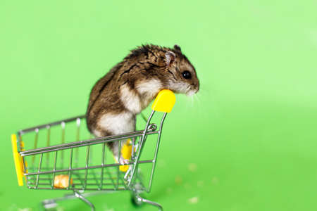 Funny Djungarian hamster sits in childrens empty shopping cart on green background. Funny pet is having fun 写真素材