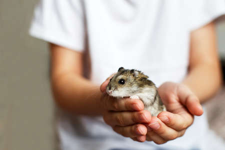 Cute little hamster in childs hands close