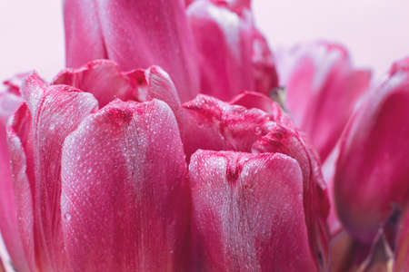 close up pink fresh flowers tulips with a water drops, wet petals, natural spring background 写真素材