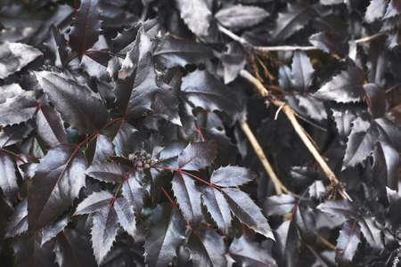a purple bush leaves close. nature spring background. 写真素材