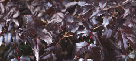 a purple bush leaves close. nature spring background. banner