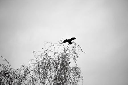 black crows fly autumn day on Halloween Stock Photo