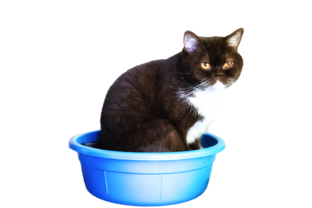 isolate the British cat who climbed in a bowl