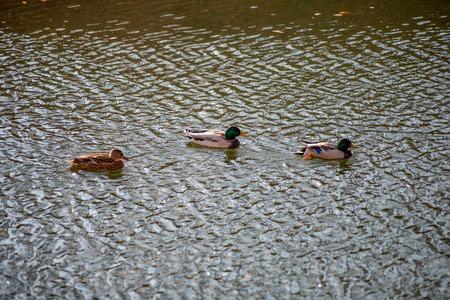 ducks swim in the pond in the autumn Park Stock Photo