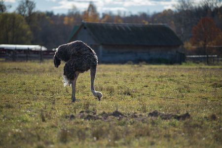 Ostrich stands on an ostrich farm and looking for food 版權商用圖片