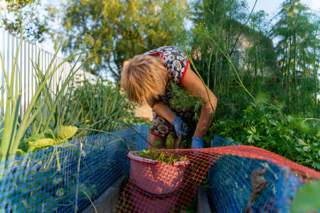 Senior woman in the village in his garden collects vegetables