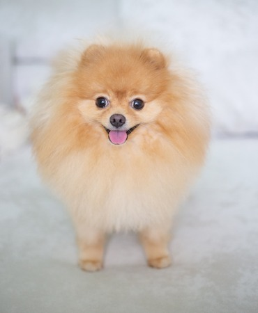 Beautiful orange dog - pomeranian Spitz