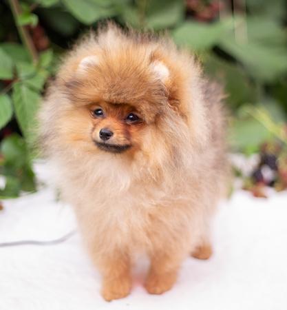 Beautiful orange dog - pomeranian Spitz. Puppy pomeranian dog cute pet happy smile playing in nature on in flowers