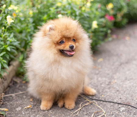 Beautiful orange dog - pomeranian Spitz. Puppy pomeranian dog cute pet happy smile playing in nature on in flowers