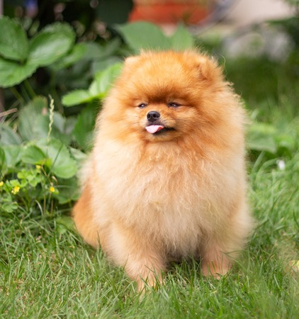 Beautiful orange dog - pomeranian Spitz. Puppy pomeranian dog cute pet happy smile playing in nature on the grass