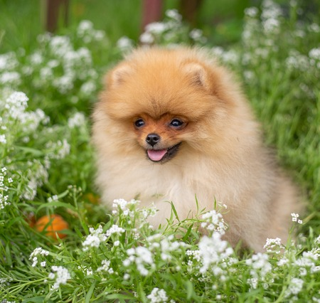 Beautiful orange dog - pomeranian Spitz. Puppy pomeranian dog cute pet happy smile playing in nature on in flowers on the grass