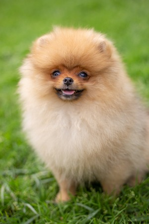 Beautiful orange dog - pomeranian Spitz. Puppy pomeranian dog cute pet happy smile playing in nature on the grass