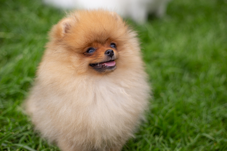 Beautiful orange dog - pomeranian Spitz. Puppy pomeranian dog cute pet happy smile playing in nature