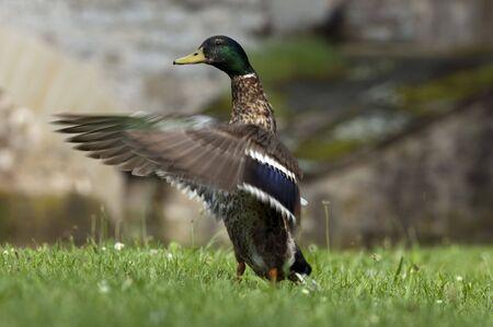 Duck spreading Wings