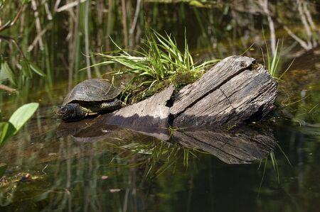 Turtle in Lake Stock Photo