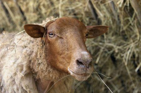 Sheep in Hay Stock Photo