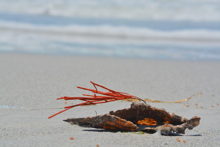 Gorgonian Orange Coral Sea Whip attached to a Pen Shell washed up on Indian Rocks Beach, Gulf of Mexico, Florida.