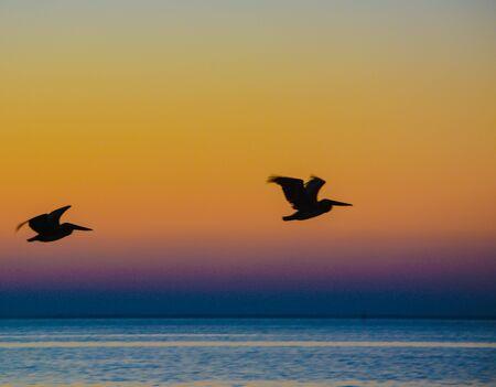 Brown Pelicans (pelecanus occidentalis) flying at sunrise over Tampa bay, Florida.