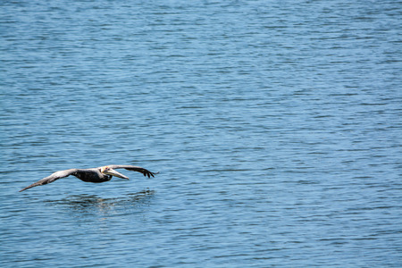 A Brown Pelican (Pelecanus Occidentalis) flying over Tampa Bay at Philippe Park in Safety Harbor, Florida