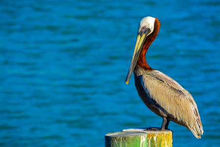 A Brown Pelican (Pelecanus Occidentalis) resting at Johns Pass on the Gulf of Mexico, Florida. Фото со стока