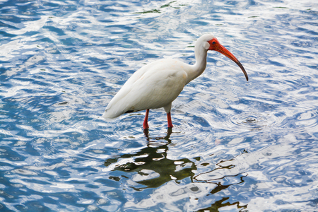 American white ibis feeding at Lake Eola Park in Orlando, Florida.